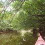 西表島のマングローブ…