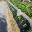 高菜の追肥とカブ、ホ…