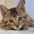 キジトラ子猫3姉妹の…