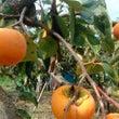 富有柿。最盛期がきま…