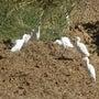 白鷺が我が家のオリー…