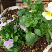 花壇と鉢の花植え替え…