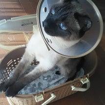 エリザベスなチョビ猫…