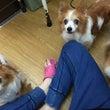 """ARCh保護犬小型…"