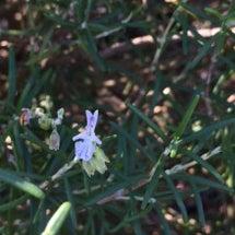 ローズマリーの白い花