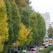 東京の黄葉も そろそ…