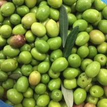 オリーブの実が2㎏収…