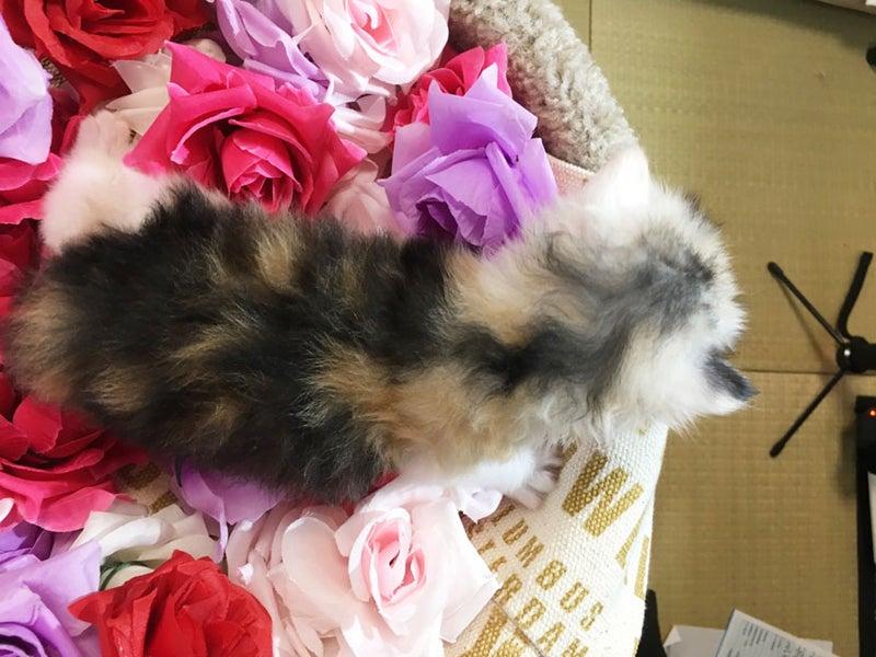 スコティッシュフォールド子猫ブリーダー販売購入 立ち耳ロング メス ペットショップ業 大阪市