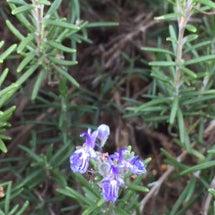 ローズマリーの青い花