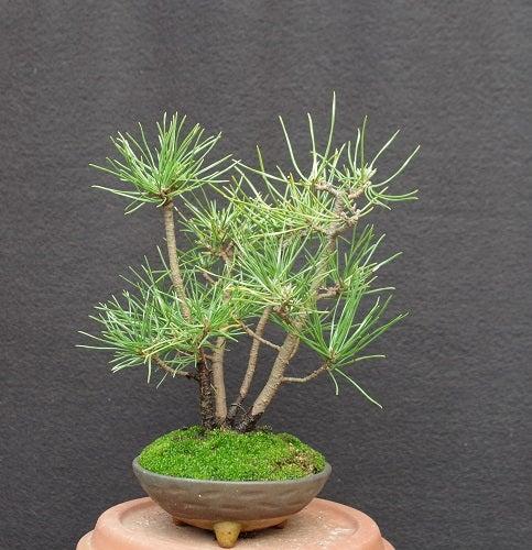 黒松 2009-5寄せ植え