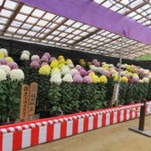 大宰府の菊花展