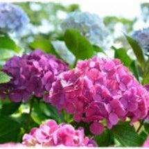 シュシュとミリーの花…