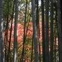 京都★北野天満宮の紅…