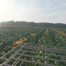 キャベツの収穫終わり