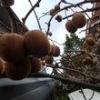 玄関先のキーウィ収穫…