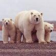 北極のシロクマはおで…