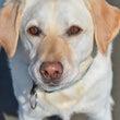 黒い立耳の犬と黄色い…
