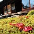 【庭園】紅葉と椿を一…