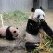 パンダの赤ちゃんがピ…
