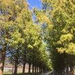 マキノ高原のメタセコ…