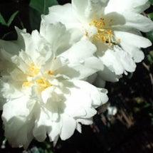 ビラビラ山茶花