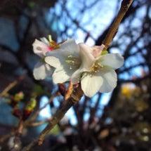 寒桜かしら、ドキドキ…