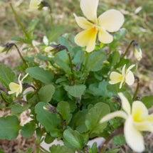 黄色いビオラ