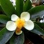 小笠原の村の花
