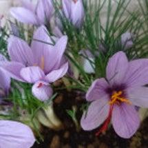 サフランの開花♪