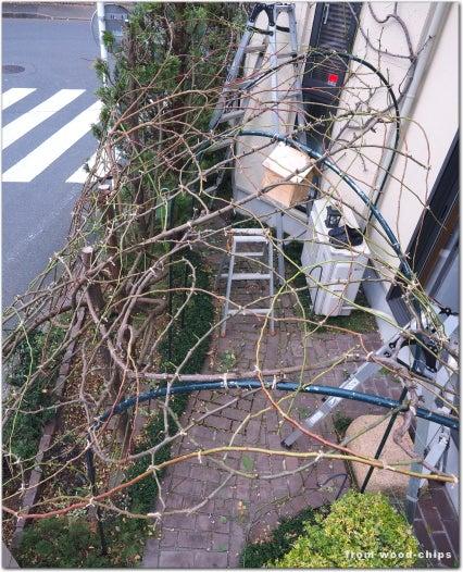 武蔵野市 バラの誘引 仕事