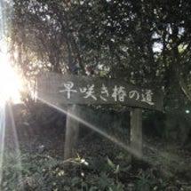 伊豆大島 ☆椿開花状…