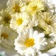 菊花茶の花を摘んで