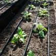 アイスプラント栽培順…