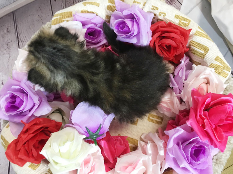 スコティッシュホールド子猫販売 ペットショップ