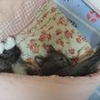 猫ひっかき病など感染…