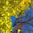 銀杏と桜と青い空