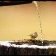キクちゃんも水を呑む