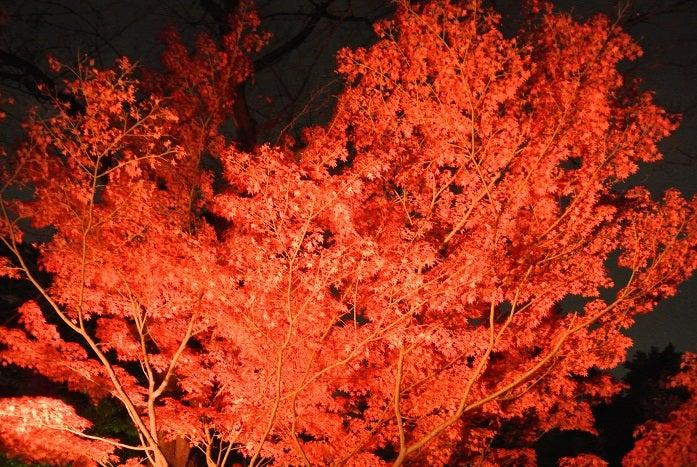 八芳園紅葉 ライトアップ