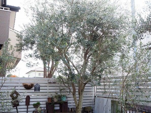 オリーブ の 木
