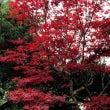 我が家のお庭も紅葉真…