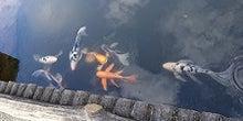 ヒレナガニシキ鯉