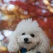 紅葉を楽しむワン