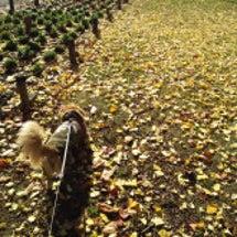 銀杏の葉っぱが落ちて…
