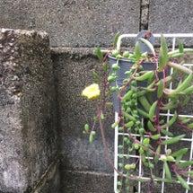 咲いてたー