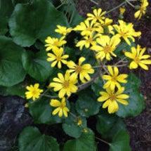 誕生花 ツワブキの花