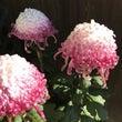 菊の花、色づき変化の…