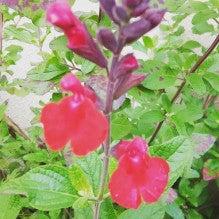 志木市本町4丁目赤い花