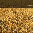 黄金の絨毯を歩いてき…