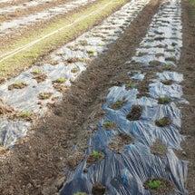カモミールの定植が終…