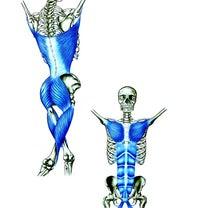 広背筋を筋膜の繋がりを使ってリリースする方法。の記事に添付されている画像